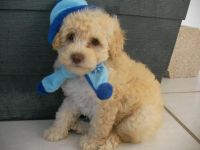 Toy Poodle Puppies for sale in Nevada St, Newark, NJ 07102, USA. price: NA