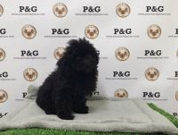 Toy Poodle Puppies for sale in Temple City, CA, USA. price: NA