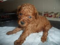 Toy Poodle Puppies for sale in Anderson, IN, USA. price: NA
