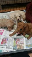Toy Poodle Puppies for sale in Baltimore, MD, USA. price: NA