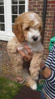 Toy Poodle Puppies for sale in Columbus, GA, USA. price: NA