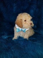 Toy Poodle Puppies for sale in Casper, WY, USA. price: NA