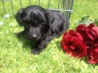 Toy Poodle Puppies for sale in Belews Creek, NC 27009, USA. price: NA