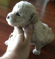 Toy Poodle Puppies for sale in Panama City, FL, USA. price: NA