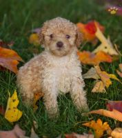 Toy Poodle Puppies for sale in Nashville, TN 37246, USA. price: NA