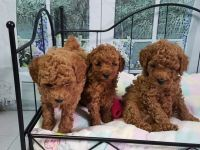 Toy Poodle Puppies for sale in Califa St, Los Angeles, CA 91601, USA. price: NA
