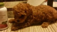 Toy Poodle Puppies for sale in Freeport, NY, USA. price: NA