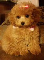 Toy Poodle Puppies for sale in Luray, VA 22835, USA. price: NA