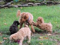 Toy Poodle Puppies for sale in Kane, PA 16735, USA. price: NA
