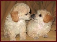Toy Poodle Puppies for sale in California St, San Francisco, CA, USA. price: NA