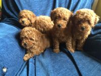 Toy Poodle Puppies for sale in Salt Lake City, UT, USA. price: NA