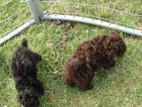 Toy Poodle Puppies for sale in Washington Court House, OH 43160, USA. price: NA