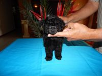 Toy Poodle Puppies for sale in Zephyrhills, FL, USA. price: NA