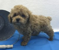Toy Poodle Puppies for sale in Springfield, MO, USA. price: NA