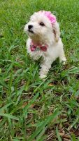 Toy Poodle Puppies for sale in Boca Raton, FL, USA. price: NA