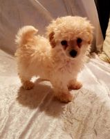 Toy Poodle Puppies for sale in Austin, TX, USA. price: NA