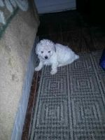 Toy Poodle Puppies for sale in Brenham, TX 77833, USA. price: NA