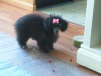 Toy Poodle Puppies for sale in Tulsa, OK, USA. price: NA
