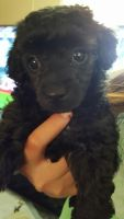 Toy Poodle Puppies for sale in Kinston, NC, USA. price: NA