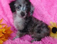 Toy Poodle Puppies for sale in Tuscaloosa, AL, USA. price: NA