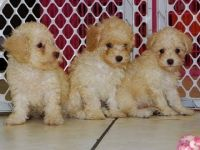 Toy Poodle Puppies for sale in New York, NY, USA. price: NA