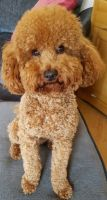 Toy Poodle Puppies for sale in Sherard, MS 38669, USA. price: NA