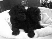 Toy Poodle Puppies for sale in Point Pleasant Beach, NJ 08742, USA. price: NA