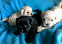 Toy Poodle Puppies for sale in Morriston, FL 32668, USA. price: NA