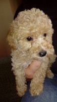 Toy Poodle Puppies for sale in 15201 San Pedro Ave, San Antonio, TX 78232, USA. price: NA
