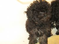 Toy Poodle Puppies for sale in Sarahsville, OH, USA. price: NA