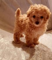 Toy Poodle Puppies for sale in US Hwy 19 N, Pinellas Park, FL, USA. price: NA
