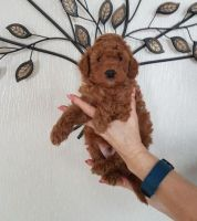 Toy Poodle Puppies for sale in Los Angeles, CA 90009, USA. price: NA