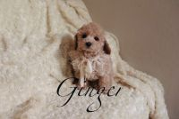 Toy Poodle Puppies for sale in Las Vegas, NV 89178, USA. price: NA