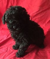 Toy Poodle Puppies for sale in United States. price: NA
