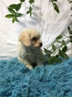 Toy Poodle Puppies for sale in Broxton, GA 31519, USA. price: NA