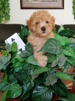 Toy Poodle Puppies for sale in New Bloomfield, MO 65063, USA. price: NA