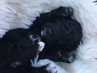 Toy Poodle Puppies for sale in Climax, MI 49034, USA. price: NA