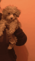 Toy Poodle Puppies for sale in Detroit, MI, USA. price: NA