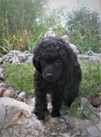 Toy Poodle Puppies for sale in Kirksville, MO 63501, USA. price: NA