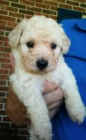 Toy Poodle Puppies for sale in Seneca, SC, USA. price: NA