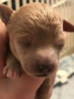 Toy Poodle Puppies for sale in Sumter, SC, USA. price: NA