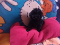 Toy Poodle Puppies for sale in Frostburg, MD 21532, USA. price: NA