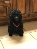 Toy Poodle Puppies for sale in Carlisle, PA 17013, USA. price: NA
