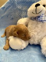 Toy Poodle Puppies for sale in Morehead, KY 40351, USA. price: NA
