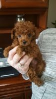 Toy Poodle Puppies for sale in Visalia, CA, USA. price: NA