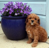 Toy Poodle Puppies for sale in Nashville, TN, USA. price: NA