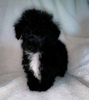 Toy Poodle Puppies for sale in Kinston, NC 28501, USA. price: NA