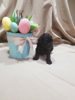 Toy Poodle Puppies for sale in Montgomery, TX, USA. price: NA