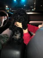 Toy Poodle Puppies for sale in Seattle Slew Dr, Jersey Village, TX 77065, USA. price: NA