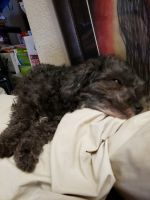 Toy Poodle Puppies for sale in Centralia, MO 65240, USA. price: NA